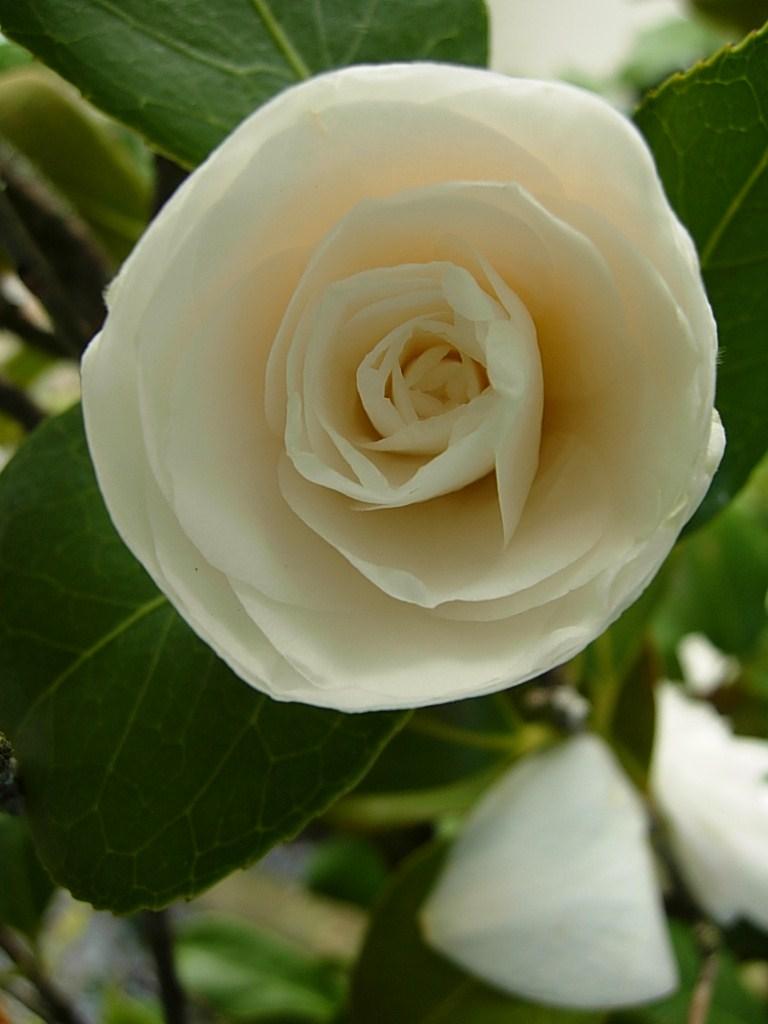 椿は咲いているかな_c0213220_714796.jpg