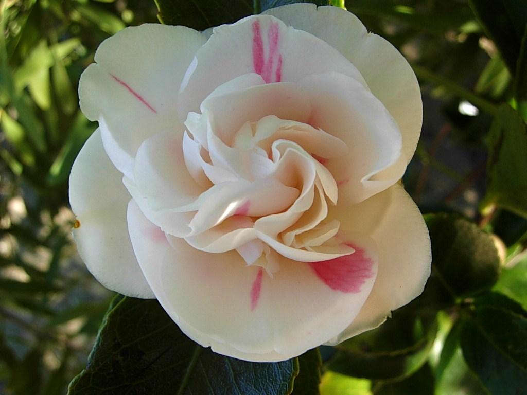 椿は咲いているかな_c0213220_735545.jpg
