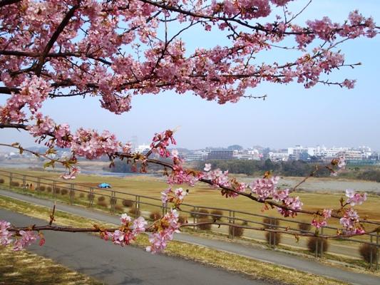 多摩川の河津桜_f0138447_991078.jpg