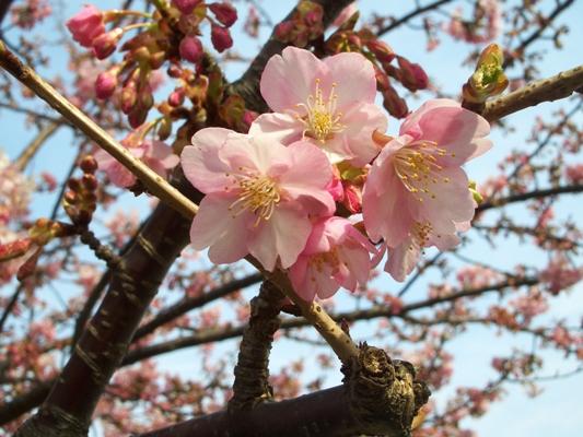 多摩川の河津桜_f0138447_992172.jpg
