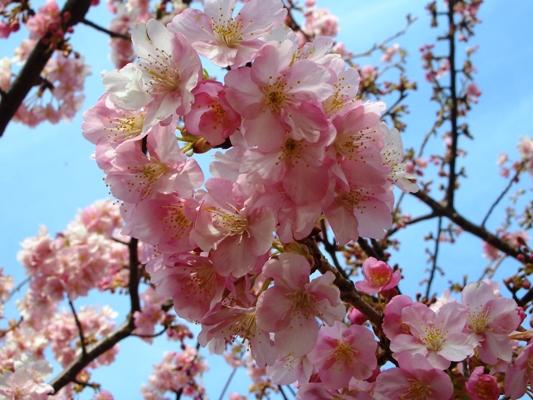 多摩川の河津桜_f0138447_992849.jpg