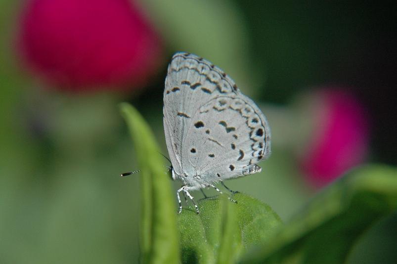 2009年想い出の蝶 ヤクシマルリシジミ_e0194952_6531623.jpg