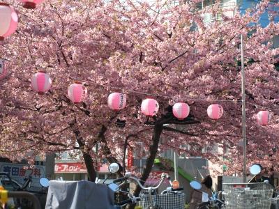 河津桜とカリちゃんファミリー記念撮影〜(^^)_b0001465_1828425.jpg