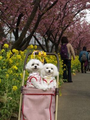 河津桜とカリちゃんファミリー記念撮影〜(^^)_b0001465_1832289.jpg