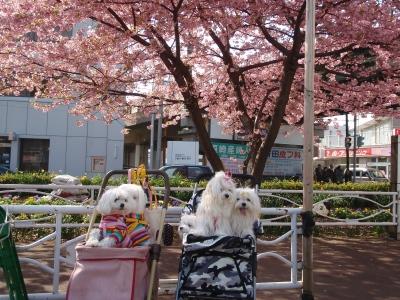 河津桜とカリちゃんファミリー記念撮影〜(^^)_b0001465_18392467.jpg