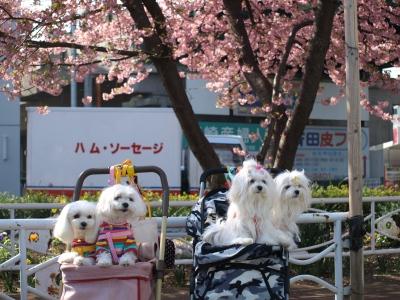 河津桜とカリちゃんファミリー記念撮影〜(^^)_b0001465_18413270.jpg