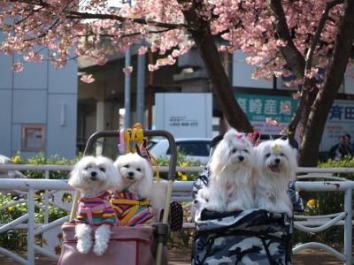 河津桜とカリちゃんファミリー記念撮影〜(^^)_b0001465_18441626.jpg