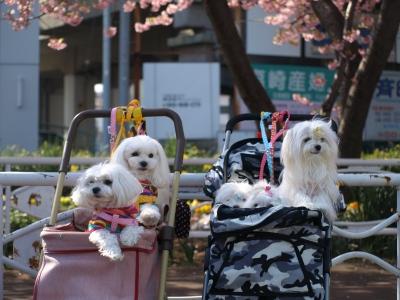 河津桜とカリちゃんファミリー記念撮影〜(^^)_b0001465_18462641.jpg