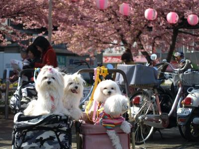 河津桜とカリちゃんファミリー記念撮影〜(^^)_b0001465_1849194.jpg