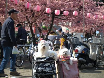 河津桜とカリちゃんファミリー記念撮影〜(^^)_b0001465_18505291.jpg