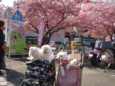 河津桜とカリちゃんファミリー記念撮影〜(^^)_b0001465_1931093.jpg