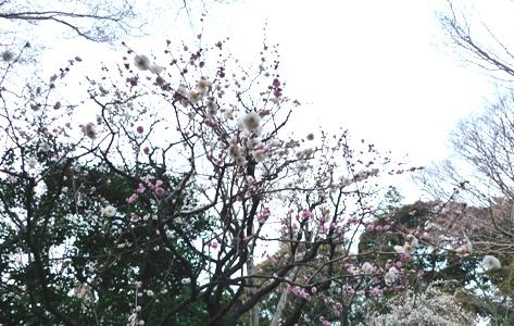 福寿草_a0133859_17485287.jpg