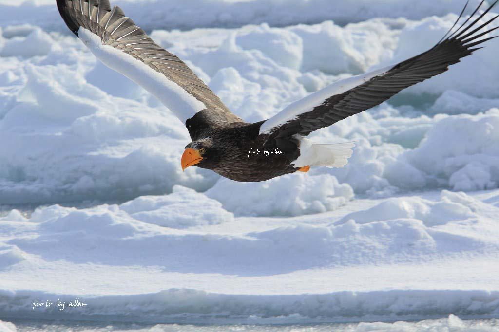 流氷とオオワシ君より~_a0039860_17453064.jpg