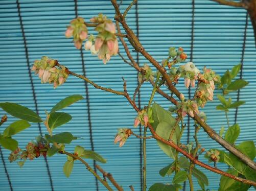 屋内促成栽培のサザンハイブッシュ系の花_f0018078_17342659.jpg
