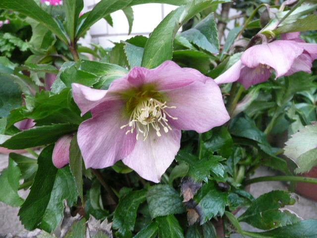 我が家の花です♪_f0099147_22494448.jpg