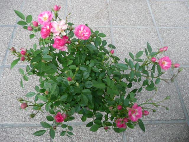 我が家の花です♪_f0099147_22563556.jpg