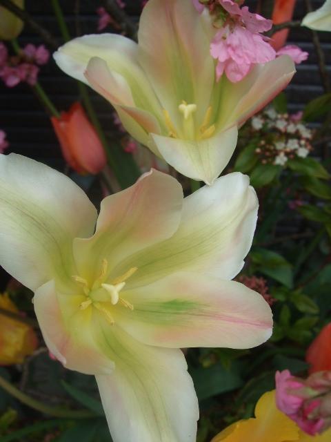 オークリーフ(BeROSEさん開店の花)_f0049672_16454855.jpg