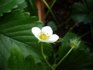 苺の花_c0203401_15194283.jpg