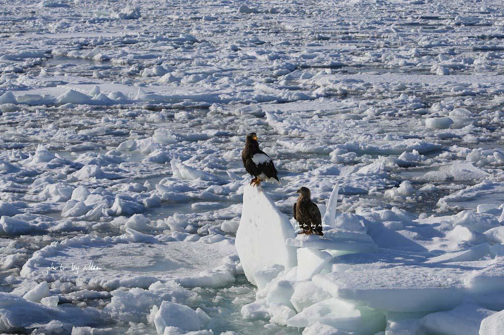 羅臼の流氷より~_a0039860_1428224.jpg