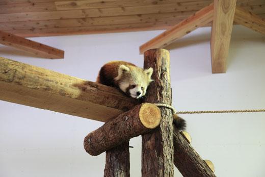 3月1日(月) レッサーパンダの森_f0167208_0201326.jpg