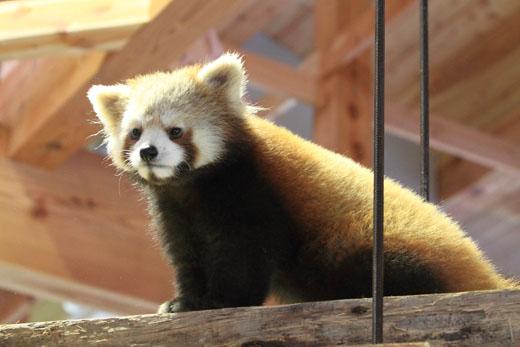 3月1日(月) レッサーパンダの森_f0167208_026385.jpg