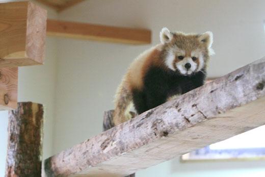 3月1日(月) レッサーパンダの森_f0167208_0293314.jpg