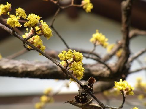 早春の花:山茱萸、黄梅、満作_c0192215_16431381.jpg