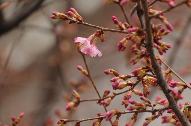 オカメ桜も咲いていた@散歩_d0056382_2342227.jpg