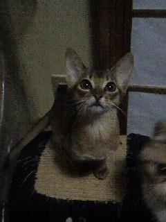 アビシニアン子猫ちょるちゃん☆_e0033609_21461746.jpg