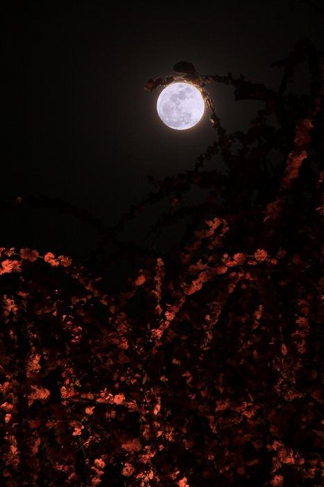 梅月夜-umezukiyo-_a0122544_2024048.jpg