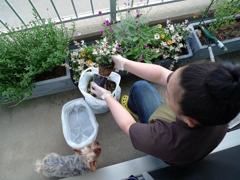 一日休み ARUPYのトリミングと 秋の花植え_a0160581_20502664.jpg
