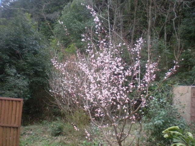 [春花」の季節~~_a0125419_10481698.jpg