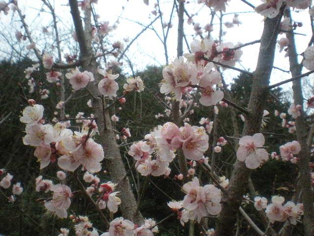 [春花」の季節~~_a0125419_1049388.jpg