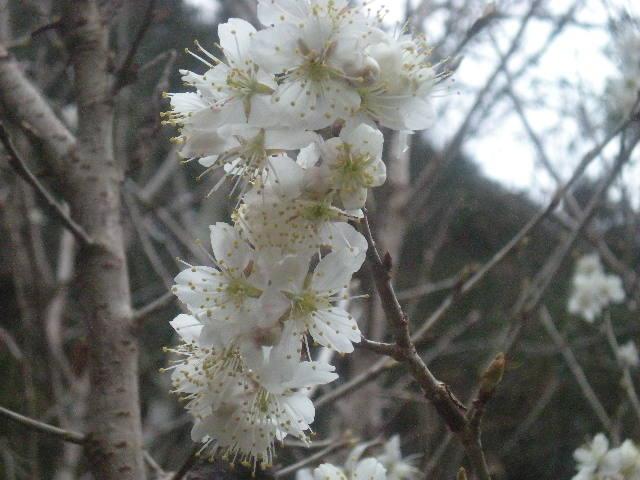 [春花」の季節~~_a0125419_10521239.jpg