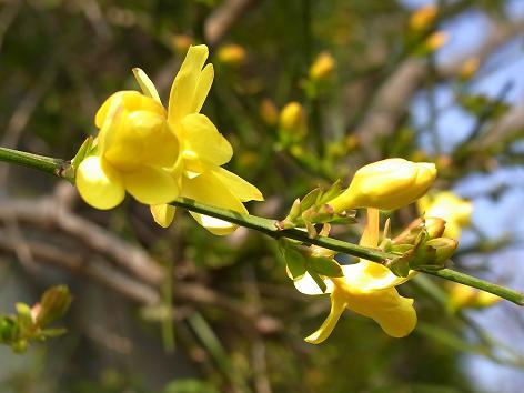 早春の花:山茱萸、黄梅、満作_c0192215_16402622.jpg