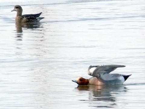 オオハクチョウ着水、羽ばたき。_b0165760_21101658.jpg