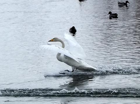 オオハクチョウ着水、羽ばたき。_b0165760_2133545.jpg