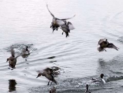 オオハクチョウ着水、羽ばたき。_b0165760_2142990.jpg