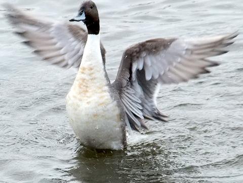 オオハクチョウ着水、羽ばたき。_b0165760_2152139.jpg