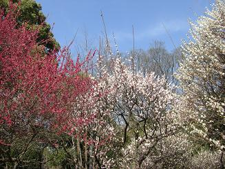 梅の次はいよいよ桜_a0159640_18514440.jpg