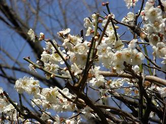 梅の次はいよいよ桜_a0159640_18524390.jpg
