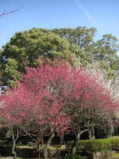 梅の次はいよいよ桜_a0159640_185739.jpg