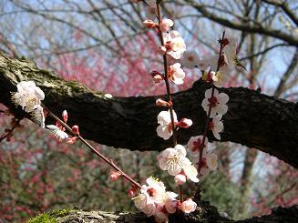 梅の次はいよいよ桜_a0159640_18575084.jpg
