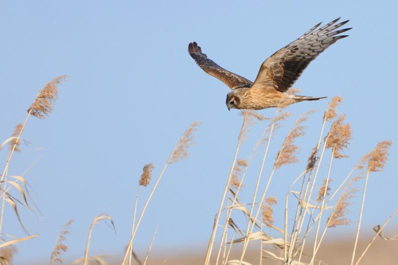 冬の内陸の野鳥(ハイイロチュウヒ、コクマルガラズ、ミヤマガラズ、ベニマシコ、コチョウゲンボウ)_d0099854_23414275.jpg