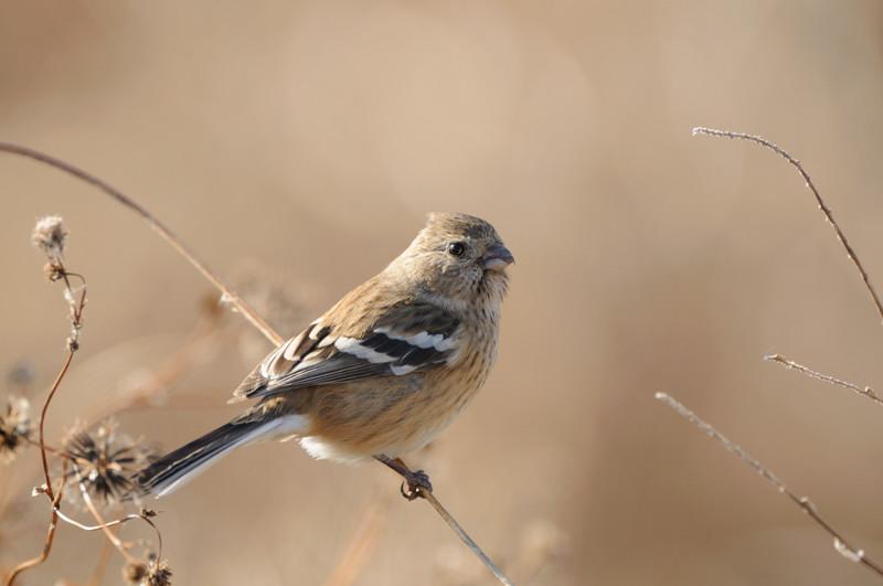 冬の内陸の野鳥(ハイイロチュウヒ、コクマルガラズ、ミヤマガラズ、ベニマシコ、コチョウゲンボウ)_d0099854_23433286.jpg