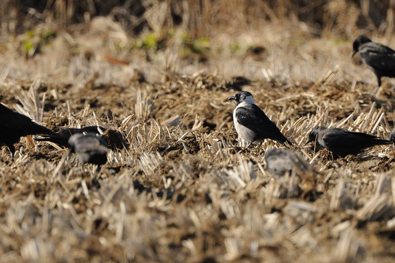 冬の内陸の野鳥(ハイイロチュウヒ、コクマルガラズ、ミヤマガラズ、ベニマシコ、コチョウゲンボウ)_d0099854_23473366.jpg