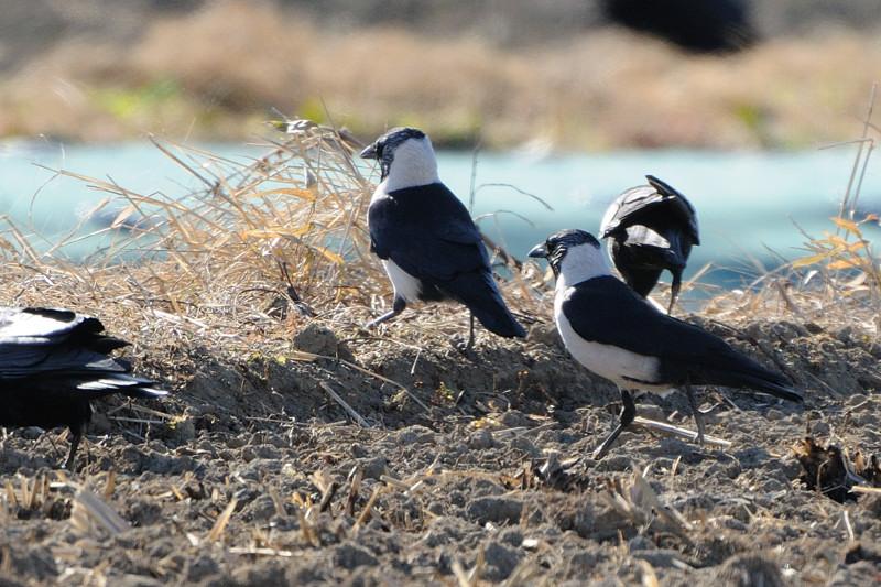 冬の内陸の野鳥(ハイイロチュウヒ、コクマルガラズ、ミヤマガラズ、ベニマシコ、コチョウゲンボウ)_d0099854_23543540.jpg