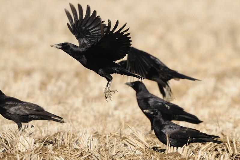 冬の内陸の野鳥(ハイイロチュウヒ、コクマルガラズ、ミヤマガラズ、ベニマシコ、コチョウゲンボウ)_d0099854_23583373.jpg