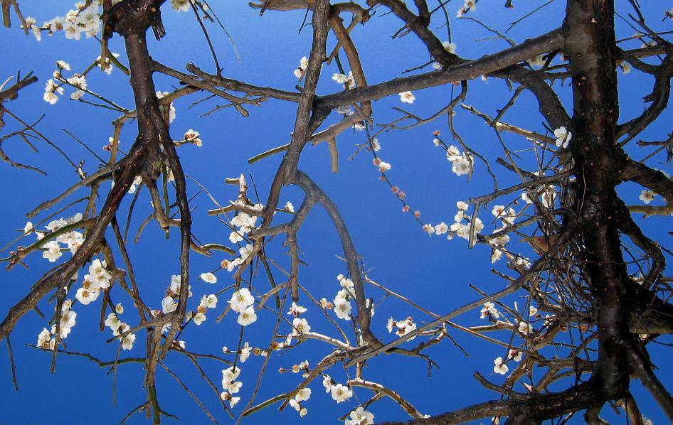 白梅の花が青空いっぱいに_a0107574_18264016.jpg