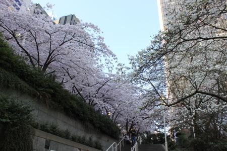 桜咲く、そして中華食べる。_d0129786_1433455.jpg